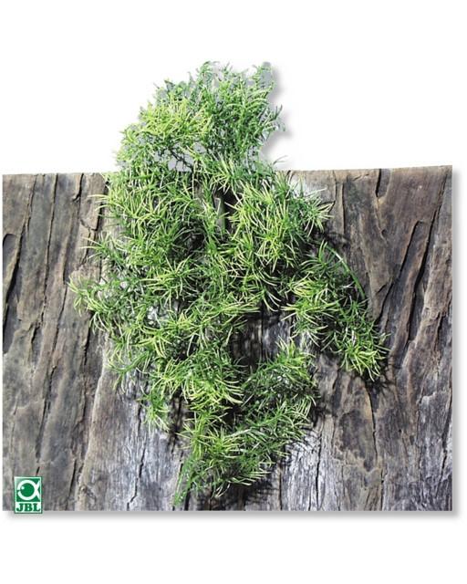 Plante pentru terariu, JBL TerraPlanta Casuarina M28